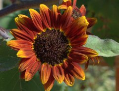 helianthus-annuus_sunflower-moulin-rouge_hudsongardens-littletonco_lah_9205
