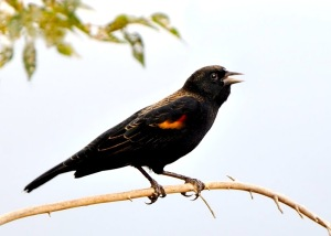 red-winged-blackbird_fcnc-co_lah_1218-a