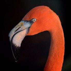 american-flamingo_denverzoo_lah_4364
