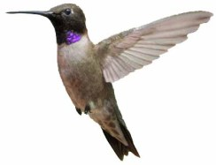 black-chinned-hummingbird_redrocksranch-hwy115-co_lah_3777