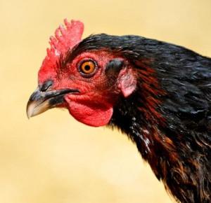 chicken_blkforestco_2200411_lah_2205r2-1