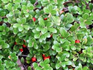 arctostaphylos-uva-ursi-kinnickinnick-bearberry-csutilxeriscapegarden-9aug2006-lah166