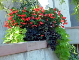 begonia_sweet-potato-vine-in-container-dbg-19sept05-lah-550