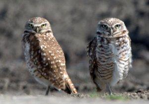 burrowing-owls_bixleynwr-ca_lah_9653