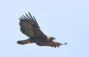 golden-eagle_ne-elpasoco-co_lah_3691_filtered-1
