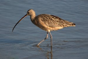 long-billed-curlew_bolsachica-ca_lah_7833