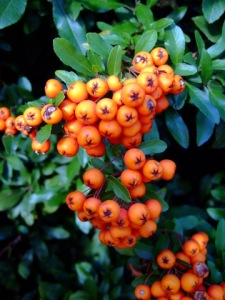 pyracantha-berries-colospgs-2008oct16-lah-133