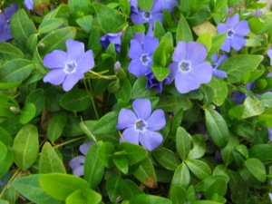 vinca-minor-xg-may142008-lah-004