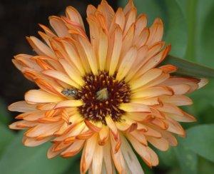 calendula-officinalis_pot-marigold_dbg_lah_1463