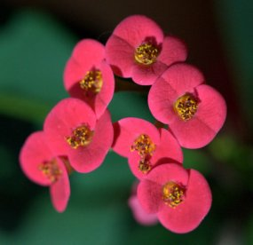Crown-of-Thorns, E. milii