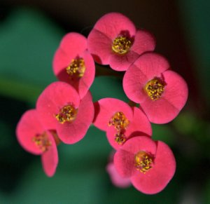 euphorbia-splendens_crown-of-thorns_blkforest_lah_6087