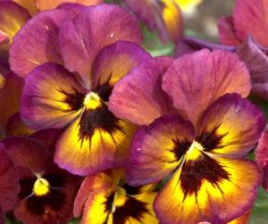 viola-x-wittrockiana_pansies_dbg_20100417_lah_2623