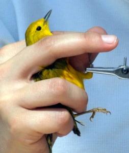 banding-yellow-warbler-fcnc-2007may05-lah-140r