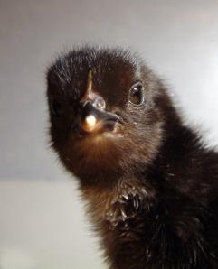 chick-lah-057r