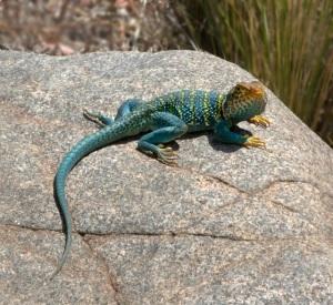 collared-lizard_colonm_lah_3611