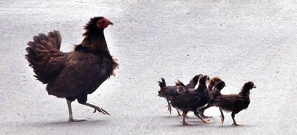 hen-chicks_parguera-pr_20100526_lah_7179