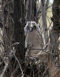 long-eared-owlet_grandjct-co_lah_3681
