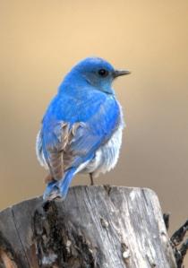 mountain-bluebird_buenavista-co_lah_2843a