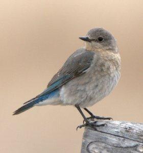 mountain-bluebird_buenavista-co_lah_2852