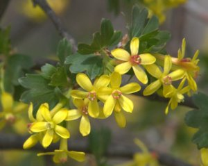 ribes-aureum-golden-currant_se-co_20100414_lah_2401-1