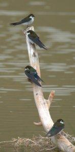 violet-green-swallows_cfo_lah_2978