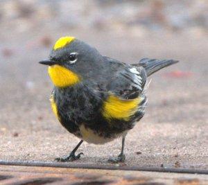 yellow-rumped-warbler_lah_3050