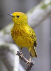 yellow-warbler_boqueronbirdrefugepr_20100527_lah_5179