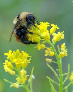 bumblebee-on-brassica-kaber_wild-mustard_kcs-co_lah_3285