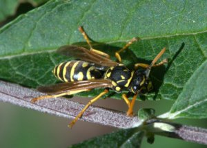 eruopean-paper-wasp__butterflypavilion-co_lah_9129