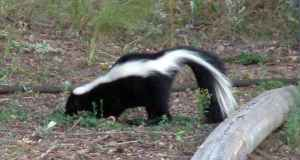 skunk-home-birdfeeders-8sept2005-lah-071