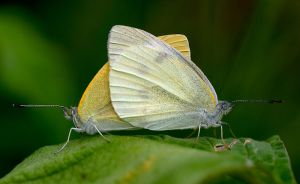 small-white-cabbage-butterfly-wikipedia