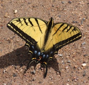 tiger-swallowtail-cornvilleaz-2009-03-21-lah-788