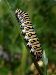 tiger-swallowtail-larva-bf-lah-019r