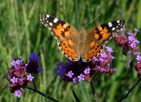 vanessa-annabella-west-coast-lady-on-verbena-dbg-19sept05-lah-183