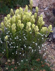 alpine-paintbrush_mtevans-co_lah_4409