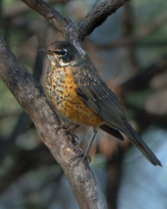 american-robin_juv_blkforest-co_lah_4249a