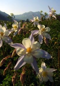 aquilegia-caerulea-colorado-columbine-crestedbutteco_2008jul12_lah_013r