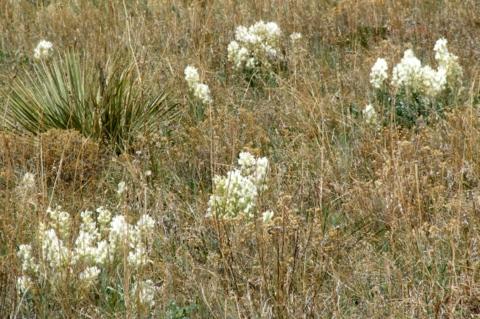 astragalus-sp_milkvetch-boulderco-2006apr29-lah-008