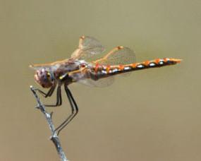 dragonfly_grandjct_lah_3964nef-1