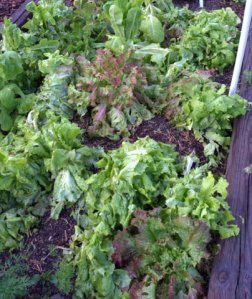 hail-damage-on-lettuce_home_lah_5122