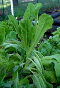 lettuce-bolting_home_lah_5096