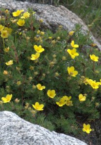 shrubby-cinquefoil_mtevans-co_lah_4506