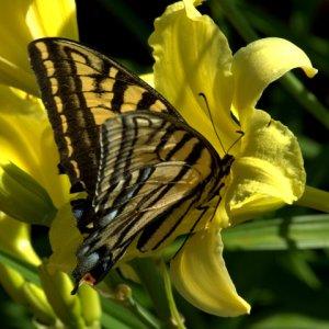 swallowtail_fox-garden-tour_colospgs-co_lah_4913