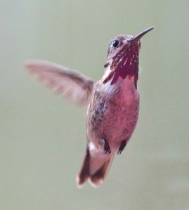 calliope-hummingbird_blkforest-co_lah_4909