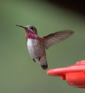 calliope-hummingbird_blkforest-co_lah_6691