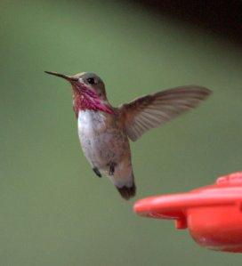 calliope-hummingbird_blkforest-co_lah_6691
