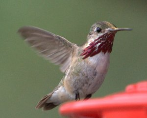 calliope-hummingbird_blkforest-co_lah_6692