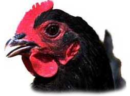 chicken_lah_2028f