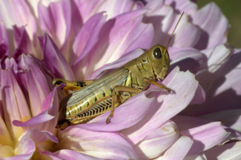 grasshopper-on-dahlia_hudsongardens-littletonco_lah_9279