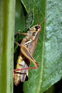 grasshopper-on-dahlia_hudsongardens-littletonco_lah_9302
